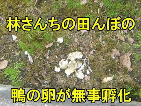 , title : '鴨の卵が無事に孵化しました。2016/7/4