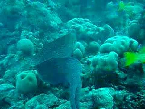 Riesenmuräne, Umm Hal Hal (Middle Reef),Safaga,Ägypten
