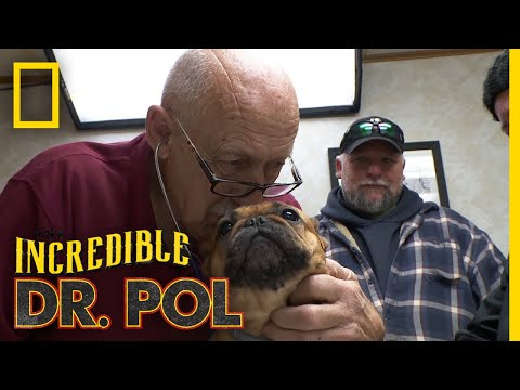 Treating Animals With Pneumonia | The Incredible Dr. Pol