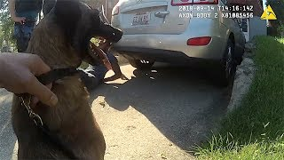 Police Belgian Malinois Sicaria Eats Bad Guy For Lunch