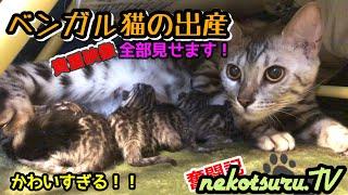 【超感動】自宅でベンガル猫が初出産!徹夜で撮影!全て公開‼︎初めてママになる母性愛に注目!The Whole Picture Of The Birth Of The Silver Bengal Cat