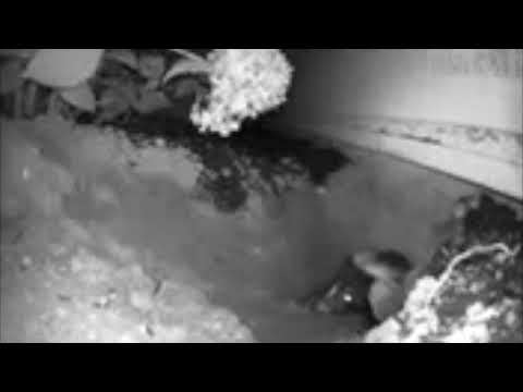 We were unsure if the burrow by the homeowner's garage in Freehold, NJ was created by a skunk or groundhog. To find out, we set up a night vision camera to capture footage. As you can see from the video, it was a skunk.