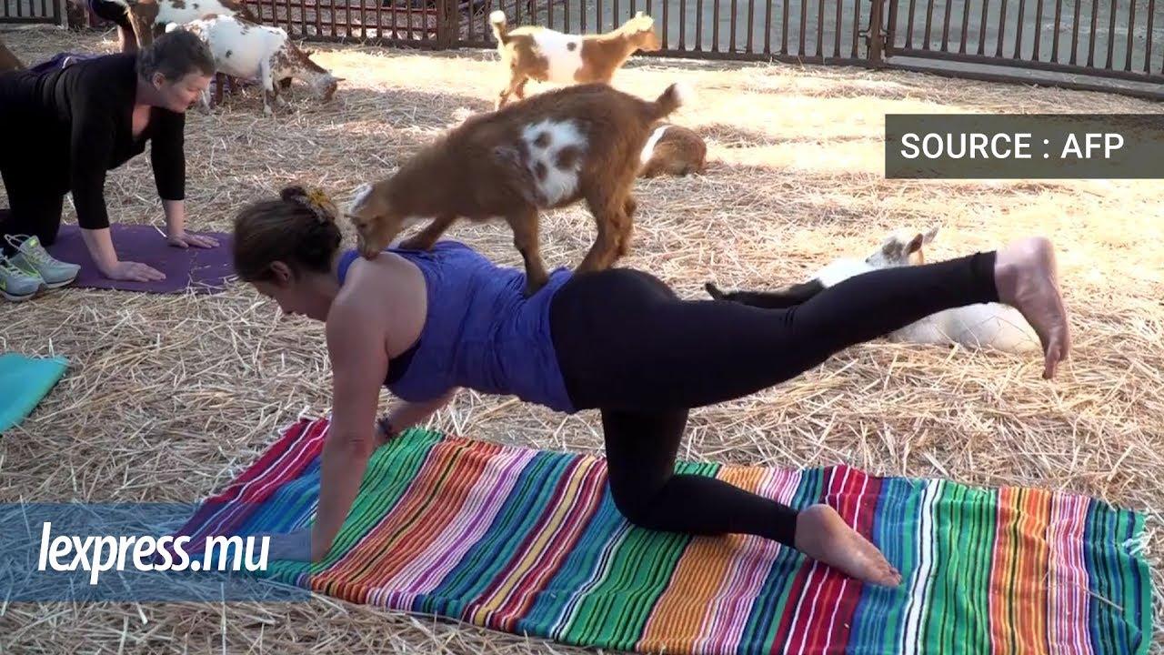 Du yoga avec des chèvres, la dernière mode aux Etats-Unis | lexpress.mu