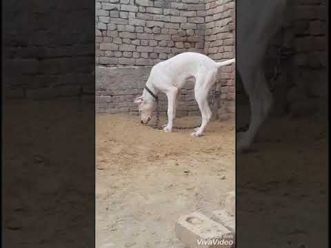 bully dog trained by maher singh