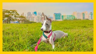 My Puppy Can Flip And Fly Around: 5 Months Old Italian Greyhound