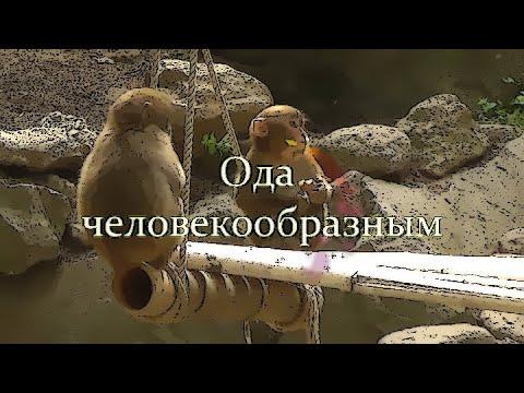 Ода человекообразным (клип)