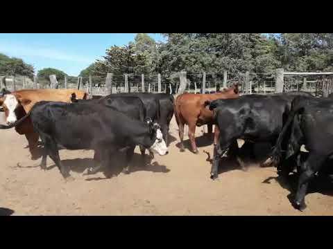 Afiche 80 vacas Angus y Caretas, preñadas, en Santa Rosa, La Pampa