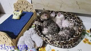 бенгальский котенок, бенгальская кошка, повадки, характер бенгала