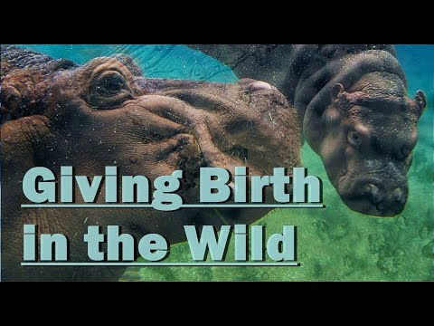 WILD ANIMALS Giving Birth download YouTube video in MP3, MP4