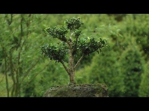 Buchsbaum Formschnitt und Gestaltung