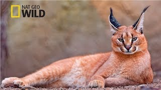 Strange Animals of Asia [National Geographic Documentary 2017 HD]