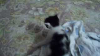 1 month old kittens playing
