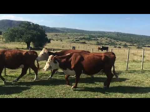 Afiche 20 Vacas de Invernada  - Minas