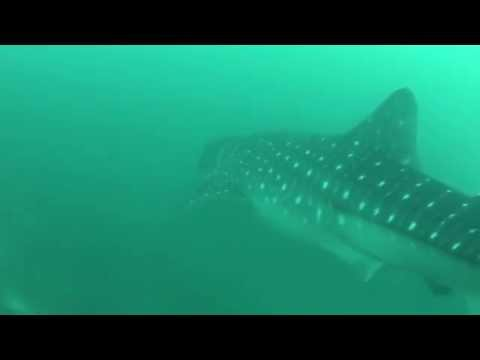 Whale Shark Encounters - Maldives & Musandam, Scuba Diving