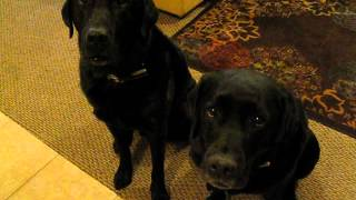 Funny Dog snitches on sibling.  Who stole the cookie? www.barkbadges.com