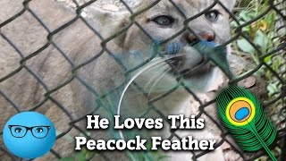 COUGAR Plays with Feather!