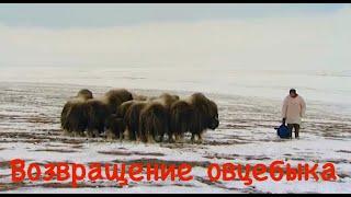 Возвращение овцебыка