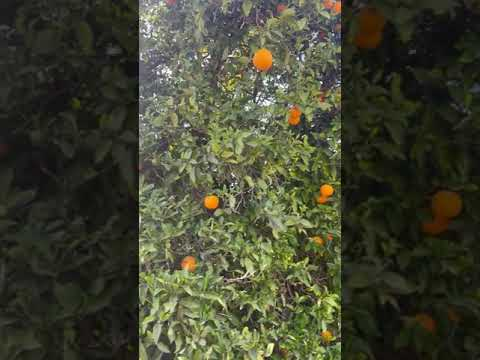 Oranges growing along the road on the way in