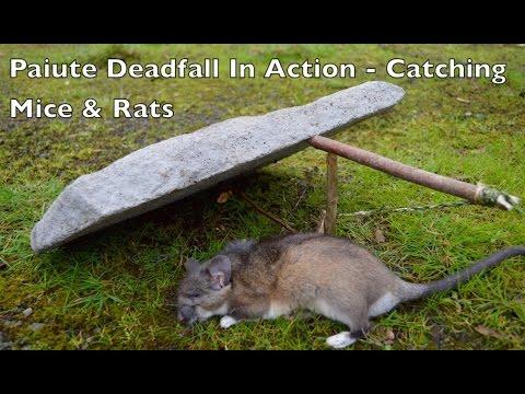 Jak vytvořit padací past na veverky, myši a další hlodavce