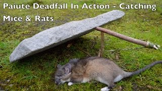 Paiute Deadfall Trap in Action! Catching Rats and Mice. Bushcraft Survival Skills.