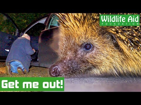Hedgehog TRAPPED under car seat How do we get him out?