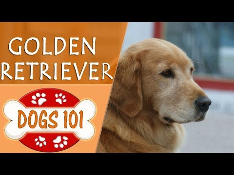 Dogs 101 - GOLDEN RETRIEVER - Top Dog Facts About The GOLDEN RETRIEVER