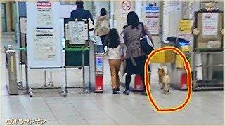 柴犬がキセル乗車で逮捕?外国人もビックリ!日本で起こった可愛い事件