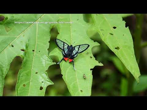 スカシバツバメシジミタテハの飛翔 Chorinea octauius