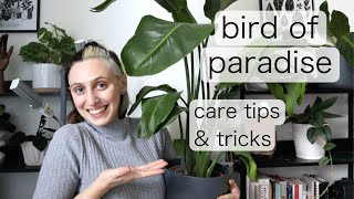 BIRD OF PARADISE INDOOR CARE | Strelitzia Reginae Tips & Tricks