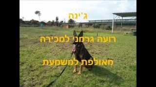 גיינה - כלבת רועה גרמני למכירה