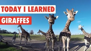 Today I Learned: Giraffes!