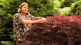 How to Prune Japanese Maples - Instructional Video w/ Plant Amnesty