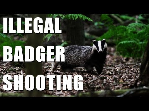 Shooting badgers illegally