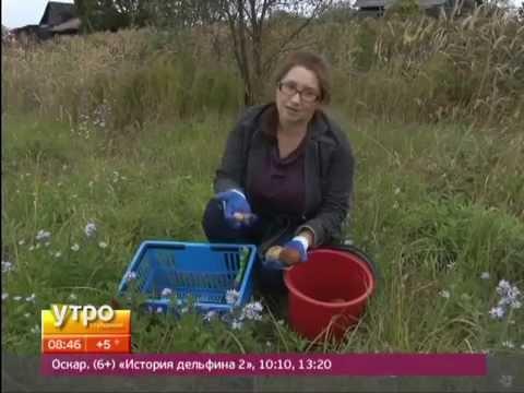Урожай картофеля с эксперементальной площадки. Утро с Губернией. GuberniaTV