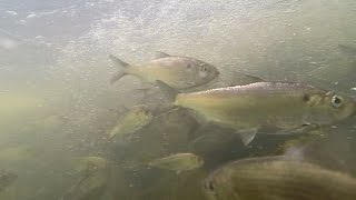 Underwater video of herring and shad spawning in MD tributary