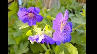 Magical Plants: Geranium/Pelargonium