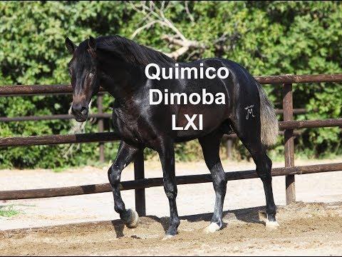 Potro Español Tordo - Gray Spanish Colt - Químico Dimoba (28-9-2019)