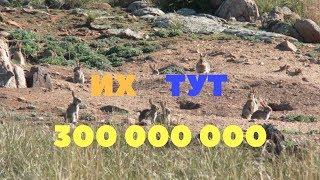 Почему в Австралии не едят диких кроликов/Не экспортируют мясо
