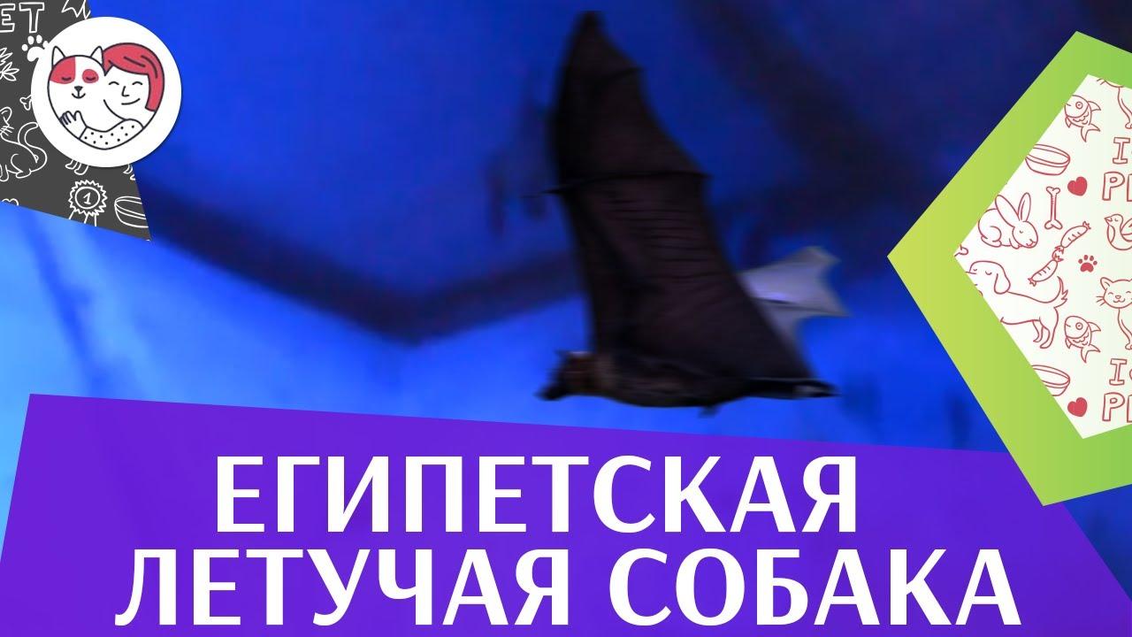 Египетская летучая собака или нильский крылан на ilikepet