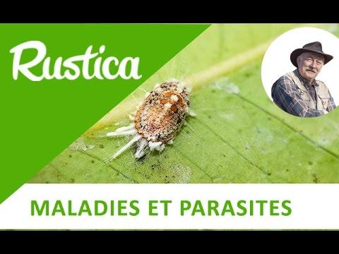 Melyek a szervezetben élő paraziták népi gyógyszerei