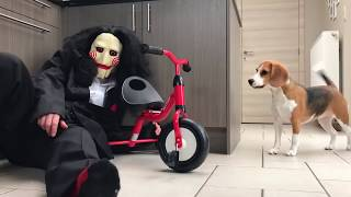 Funny Beagles Get PRANKED With Halloween Costumes.