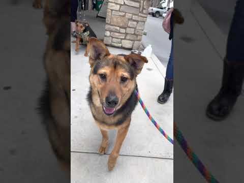 Bruno, an adoptable Shepherd Mix in San Diego, CA