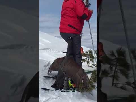 Глухарь напал на лыжника