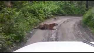 Тигр в районе Синего Утеса, Приморский край