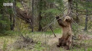 Bears Dancing To 'Jungle Boogie' - Planet Earth II