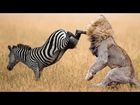 When Prey Fights Back | Most Amazing Animal Attack Fails 2016 letöltés