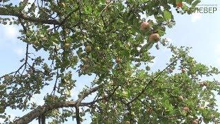 Высадака яблонь