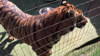 Смотреть онлайн Кошка и тигр нюхают друг друга