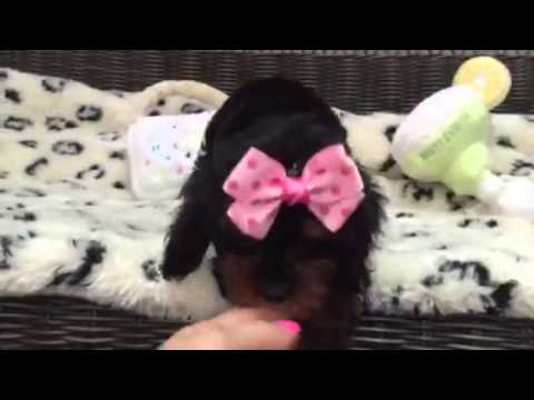 Lovable Cavapoo Girl, Rich and Beautiful Color