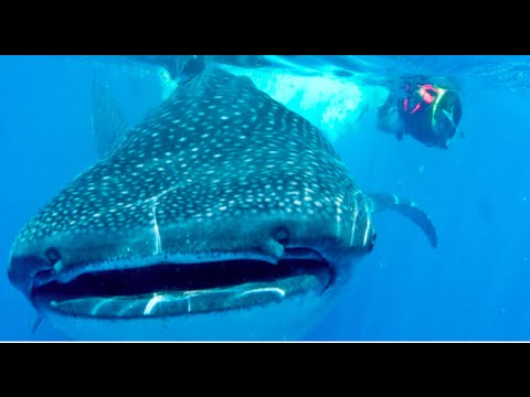 Riviera Maya Tours & Excursions – Whale Shark